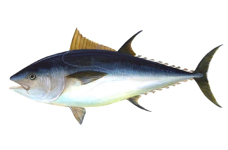 Imagen de atún de mar