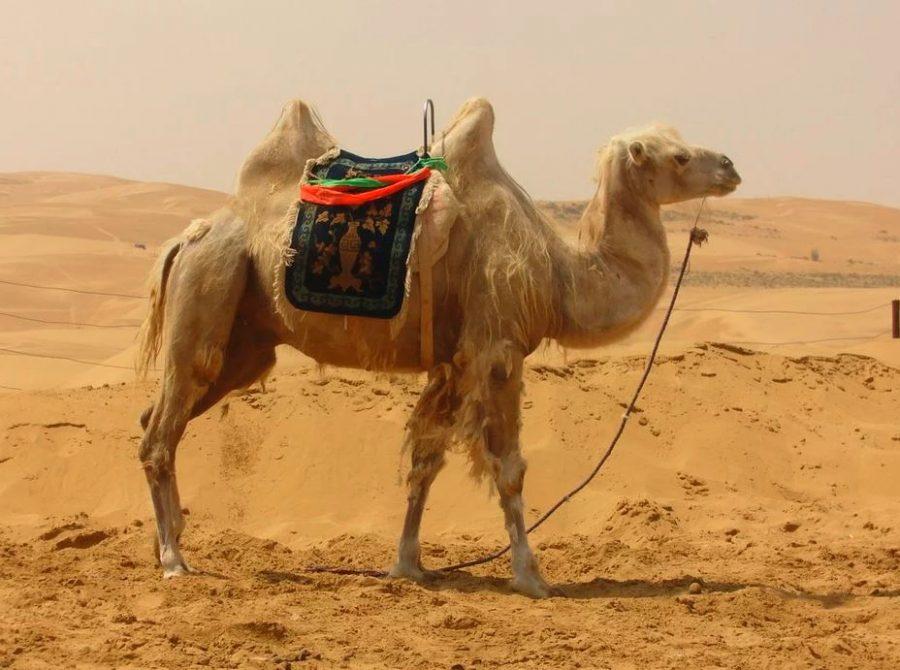 Camello de dos chepas en el desierto