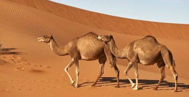 Dos dromedarios en el desierto