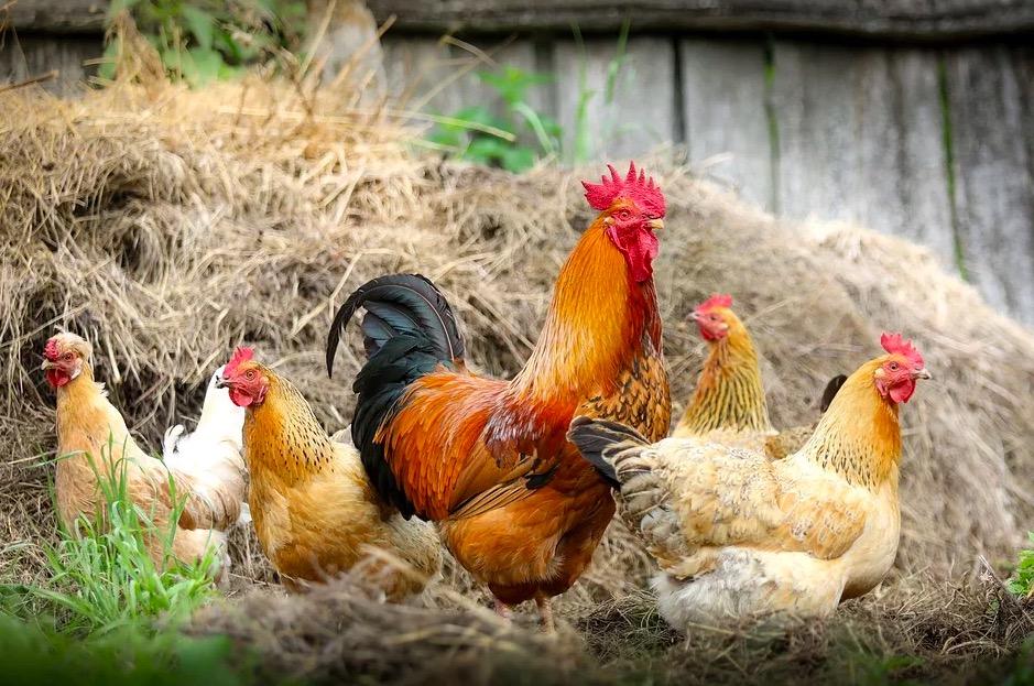 Pollos y gallinas