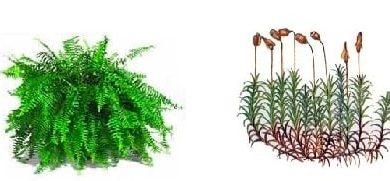 Diferencias entre briofitas y pteridofitas