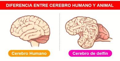 Diferencia entre cerbro humano y animal