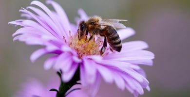 abeja en polinizando una flor
