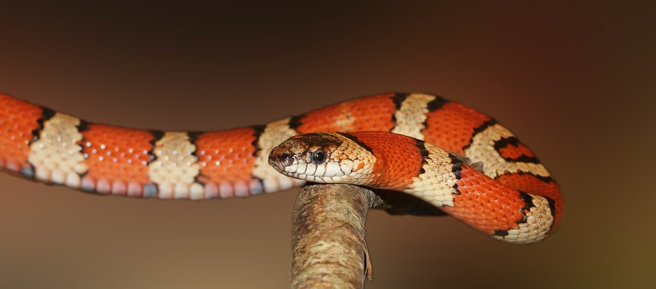 Diferencia entre serpiente y culebra