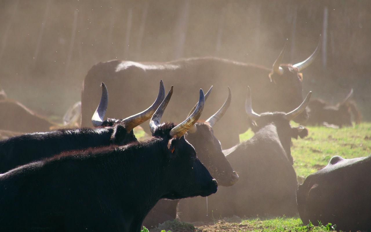 Manada de toros negros