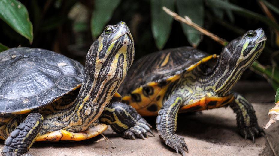Diferencia entre tortuga y galápago
